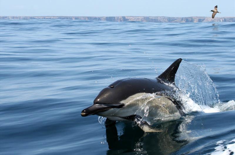 дельфин белобочка фото