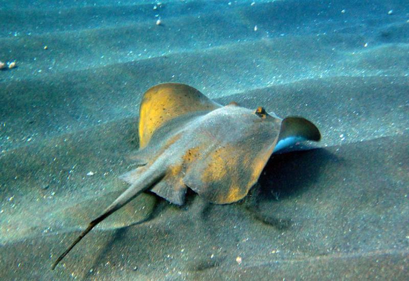 потому, черноморский скат рыба фото занимаются изготовлением