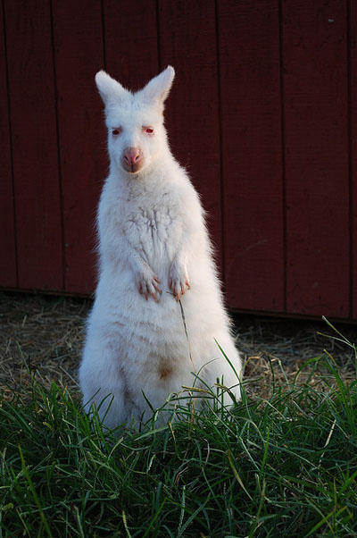 Анапа кенгуру