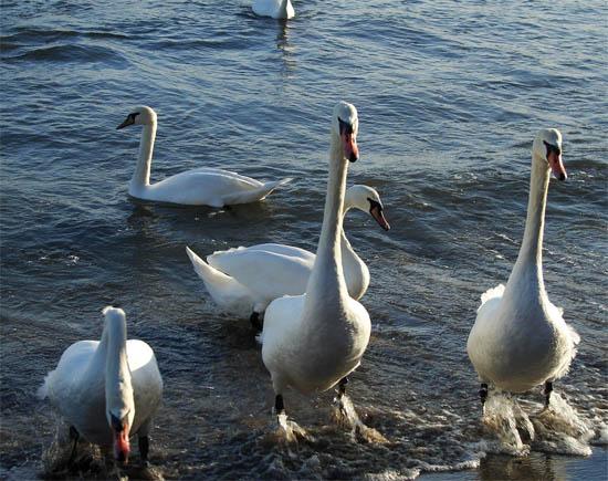 Анапа лебеди
