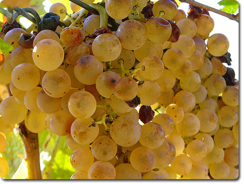 Виноград Анапы